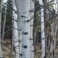 aspen_trees.jpg